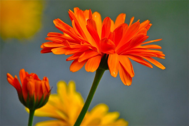 Calendula Orange King semi