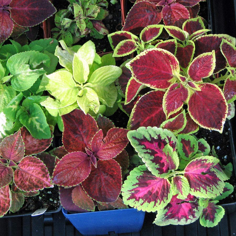 Coleus Rainbow Mix semi