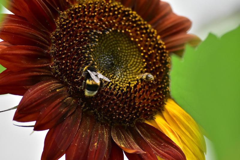 Nano Girasole Mini Stars per ca 40 PIANTE SEMI SEMENTI FIORI semina