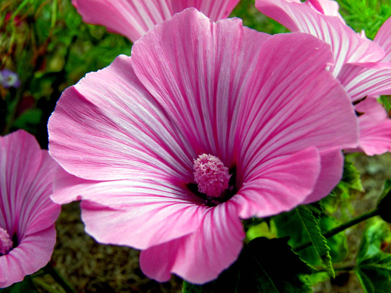 Lavatera Trimestris rose mallow semi