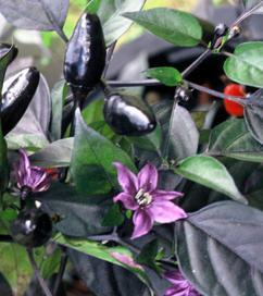 Peperoncino Black Royal