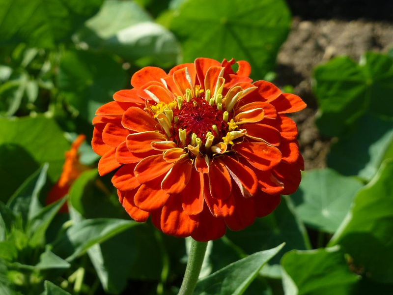 Zinnia Orange King seeds