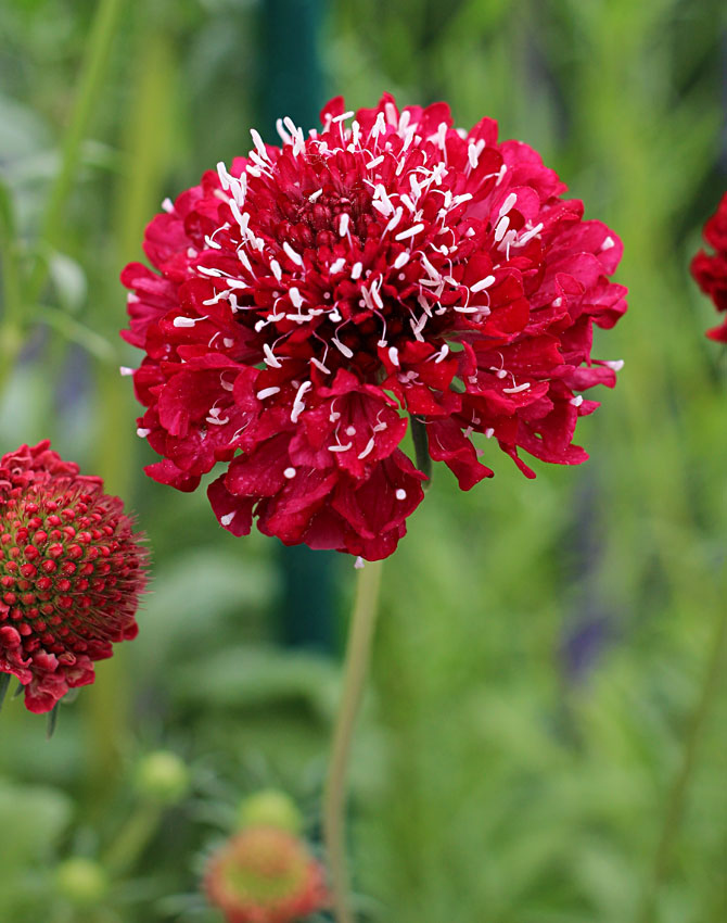 Scabiosa Cherry Red semi