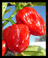 Peperoncino Scotch Bonnet Rosso semi