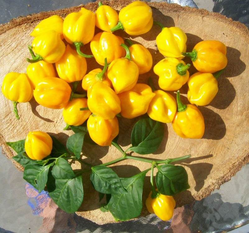 peperoncino Scotch Bonnet Giallo