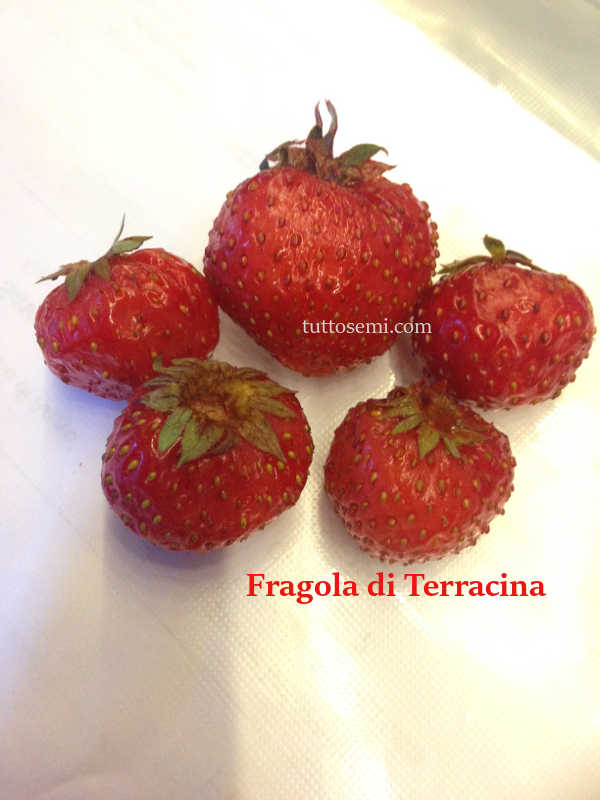 Fragola di Terracina semi