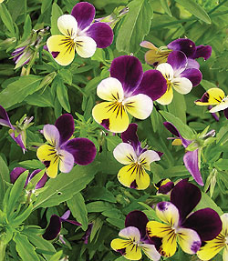 Viola Commestibile Sant'Elena