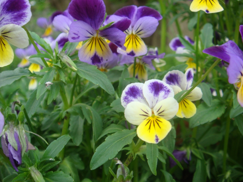 Viola Selvatica Tricolor Heartsease semi